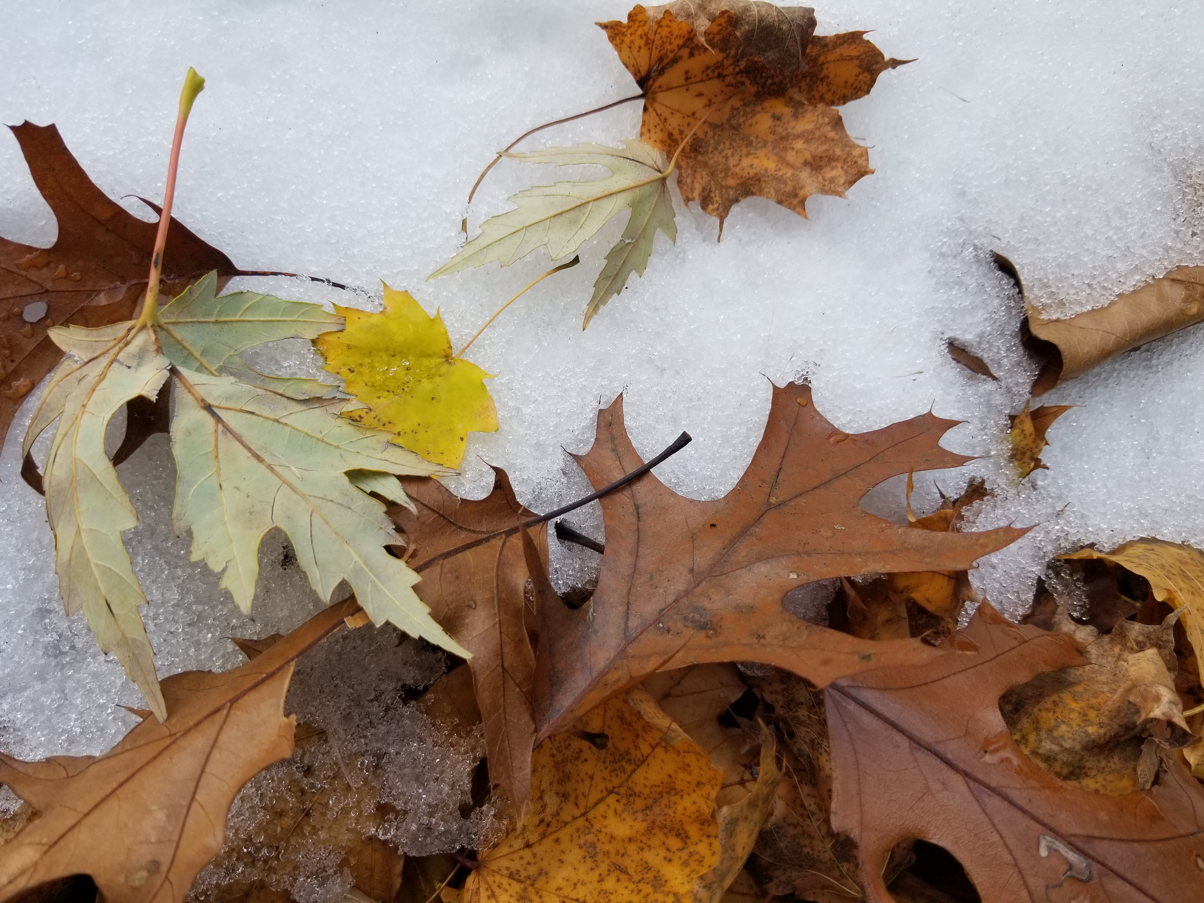 leaves and snow